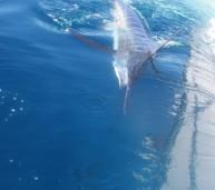Blue marlin +- 400lbs